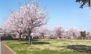 さくら公園で桜の花見